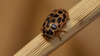 water ladybird, Anisosticta 19-punctata