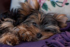 what's up? (marinachi) Tags: yorkshireterrier puppy dog small little sundaylights cof039dmnq cof039mari cof039mvfs cof039ally