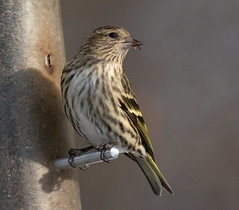 Pine Siskin with a Thistle Seed (ksblack99) Tags: thistle seed pinesiskin waterlootownship michigan spinuspinus