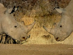 20171011_141110 (dieter.schultheiss) Tags: namibia naankuse lodge erindi game sossusvlei swakopmund safari cheetah lion gepard oryx dunes elephant elefant wild dog wildhund gnu zebra crocodile krokodil san bushmen buschmänner dead vlei solitaire