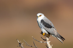 White-tailed Kite with Vole (X81_3424-1) (Eric SF) Tags: whitetailedkite raptor vole coyotehillsregionalpark fremont california grouptripod