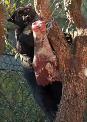 jaguar Artis BB2A5817 (j.a.kok) Tags: jaguar jaguarcub blackjaguar zwartejaguar pantheraonca kat cat animal artis mammal zoogdier zuidamerika southamerica dier