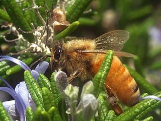 European Honey bee P1033670