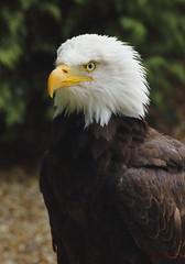 Bald Eagle (Haliaeetus leucocephalus) (Colin Pinchen) Tags: baldeagle haliaeetusleucocephalus eagle prey bird northamerica weyhill hants colin pinchen