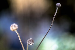 Mourir et Devenir (Of Light & Lenses) Tags: zeiss2860mmsplanarmakro 2860mmsplanarmakro sonya7 anemone autumne seeds graines autumn carlzeiss makro mourir et devenir wu wei taoism 3d