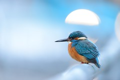 Kingfisher (Benjamin Joseph Andrew) Tags: bird freshwater winter urban town city blue perching looking