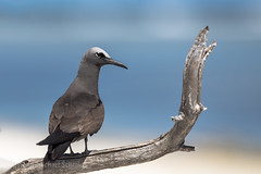 Common Noddy (Anous stolidus) (Mickspixx) Tags: commonnoddy anousstolidus ladyelliotisland beach greatbarrierreef island ocean turtle sea