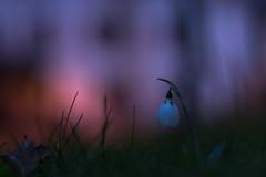 night.love (_andrea-) Tags: sonya7m2 planart1450 carlzeiss longexposure langzeitbelichtung night lowpov love snowdrops purple red white winter