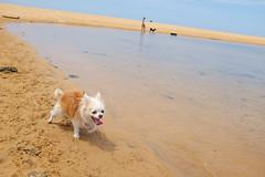 20180128-DSCF5784 (PM Clark) Tags: chihuahua pure bred long coat copacabana nsw australia dog fujifilm x100s