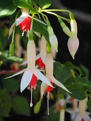 Fuchsia X Hybrida (tgrauros) Tags: botaniskaträdgårdenlundsuniversitet konungariketsverige lund suècia sverige sweden jardíbotànicdelund fuchsiaxhybrida onagraceae waternymph lundsuniversitet macro