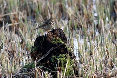 Meadow Pipit (Dave G8HPV) Tags: meadow pipit brandonmarsh warwickshire