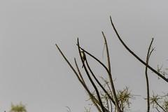 20180303-0I7A4380 (siddharthx) Tags: narsapurforestnarsapurtelanganahyderabadroadtripbirds bonthapalle telangana india in narsapurforestnarsapurtelanganahyderabadroadtripbirdswildlifewildscrubforestwaterbodywadingbirds longtailedshrike shrike rufousbackedshrike baybackedshrike