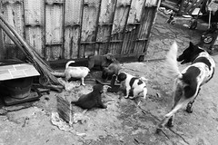 Cambodia - Dogs (Ron van Zeeland) Tags: monochrome blackandwhite dogs puppy puppies bitch teef street phnompenh cambodia alley urban pets mammal animal pups