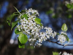 Bradford Pear (bamboosage) Tags: meyer optik gorlitz oreston 1850 m42
