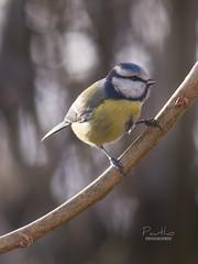 Mésange bleue (Pautho) Tags: oiseau bird mésange tit