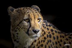 Cheetah portait (jt893x) Tags: 150600mm acinonyxjubatus cheetah d500 jt893x nikon nikond500 portrait sigma sigma150600mmf563dgoshsms coth alittlebeauty thesunshinegroup coth5 sunrays5