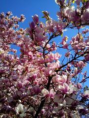Spring Blossom (sean and nina) Tags: spring blossom tree flower fruit pink white buds branches blue sky nature natural season weather sun sunny croatia hrvatska balkan balkans eu europe european outdoor outside green brown garden petrinja