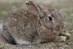 20180106_IMG_6542 (NAMARA EXPRESS) Tags: animal rabbit eye face okuno island cloudy daytime winter outdoor color okunoisland kasahara hiroshima japan canon eos 7d sigma 50mm f14 dg hsm art namaraexp