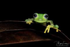 The Ghost & The Darkness (Megan Lorenz) Tags: ghostglassfrog glassfrog frog amphibian macro rainforest nature wildlife wild wildanimals travel 2017 costarica mlorenz meganlorenz