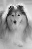 Nipsu (milko hakimsan) Tags: shetlanninlammaskoira sheltti koira dog portrait muotokuva shetland sheepdog sheltie