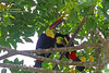 Yellow Throated Toucan_IMG_7000 (bud_marschner) Tags: costarica yellow throated toucan yellowthroatedtoucan