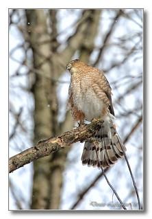 1E1A3315-DL   Épervier de Cooper (femelle) / Cooper's Hawk (female)