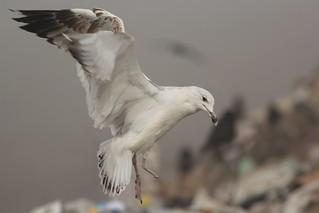 Pontische meeuw - Larus cachinans - Caspian Gull