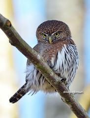 DB7_8456 (DouglasJBrown) Tags: northernpygmyowl owl birdsinbc djbphoto nature nikonafsnikkor300mmf28gedvrii raptor