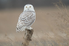 On the look-out (Earl Reinink) Tags: owl raptor predator winter field nature bird earl reinink earlreinink dehdeaudza