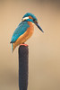 Male Kingfisher (Blake Wardle DPAGB) Tags: kingfisher nature bird wildlife canon 300mm f56 scotland blue
