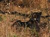 20170724-081118-00391B- (hugoholunder) Tags: löwe botswana okovangodelta savute afrika gras tier