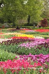 Longwood Gardens Spring 2017 (68) (Framemaker 2014) Tags: longwood gardens kennett square pennsylvania tulips united states america
