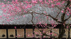 Pink Ume Blossoms 京都 北野天満宮 西陣織 三十六歌仙の額と紅梅 (maco-nonch★R) Tags: ume kitanotenmangu shrine kioto kyoto japan 京都 北野天満宮 梅 pink throughherlens asia
