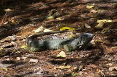 Wakodahatchee 2018-148 (slick.sue) Tags: iguana delraybeach florida unitedstates us