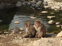 IMG_3423 monkey onsen (drayy) Tags: nagano japan monkeyonsen snowmonkeys yaenkoen jigokudani monkey onsen macaque japanesemacaque