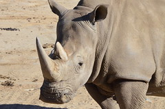 DSC_4316 (Andrew Nakamura) Tags: animal mammal rhino rhinoceros whiterhinoceros southernwhiterhinoceros southernwhiterhino sandiegozoosafaripark safaripark escondido