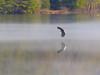 Flying Over Fog And Reflections (John Kocijanski) Tags: eagle baldeagle animal bird birdofprey raptor water reservoir mongaupfallsreservoir reflections fog flying canon70300mmllens canon7d wildlife nature