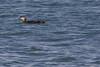 IMG_9662 (armadil) Tags: mavericks beach beaches californiabeaches bird birds loon loons swimming ocean