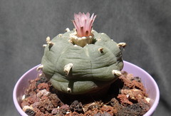 Lophophora williamsii (armen.cactus) Tags: cactus succulent flowers blooms lophophora williamsii peyote