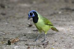 Green Jay (Alan Gutsell) Tags: southtexasbirds wildlife photo photography canon bird birding rio grande mexico alan green jay greenjay