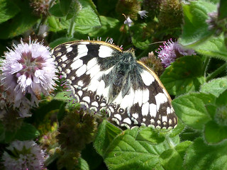Marbled White, New Forest NP, Hampshire, England
