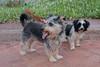 Siblings (Rushay) Tags: animal animals eyes grahamstown pets southafrica stare tongue watching yorkie