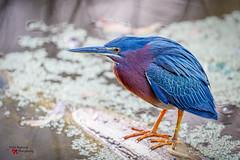 Heron Closeup (Todd Ryburn) Tags: lakeland florida unitedstates us heron closeup little green littlegreenheron