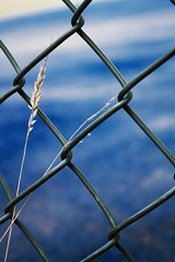 BluetifulFence (tiki.thing) Tags: blue fence chainlink plant tenniscourt 7daysofshooting week29 serene colourfulthursday