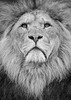 King of the Jungle (ToriAndrewsPhotography) Tags: colchester zoo big cat lion male mane portrait mono black white photography andrews tori