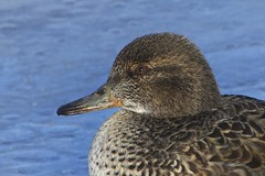 _DSC0888 (Helengale) Tags: ducks female nfld avalon cbs feathers birdfaces greenwinged teal