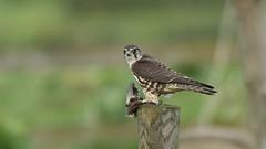 Merlin ~ Falco columbarius (Cosper Wosper) Tags: merlin falcocolumbarius catcott somerset