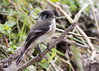 Black-capped Flycatcher (Empidonax atriceps) (Gmo_CR) Tags: blackcappedflycatcher monserrat costarica coronado