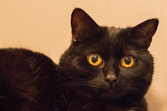 Ronja (oddarvebjerkli) Tags: pet blackcat cats