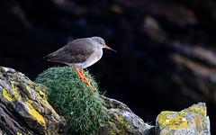 Redshank (1V4A1637) (shelleyK2) Tags: redshank nature wildlife bird canoneos7dmarkii sigma douglas isleofman springwatch winterwatch